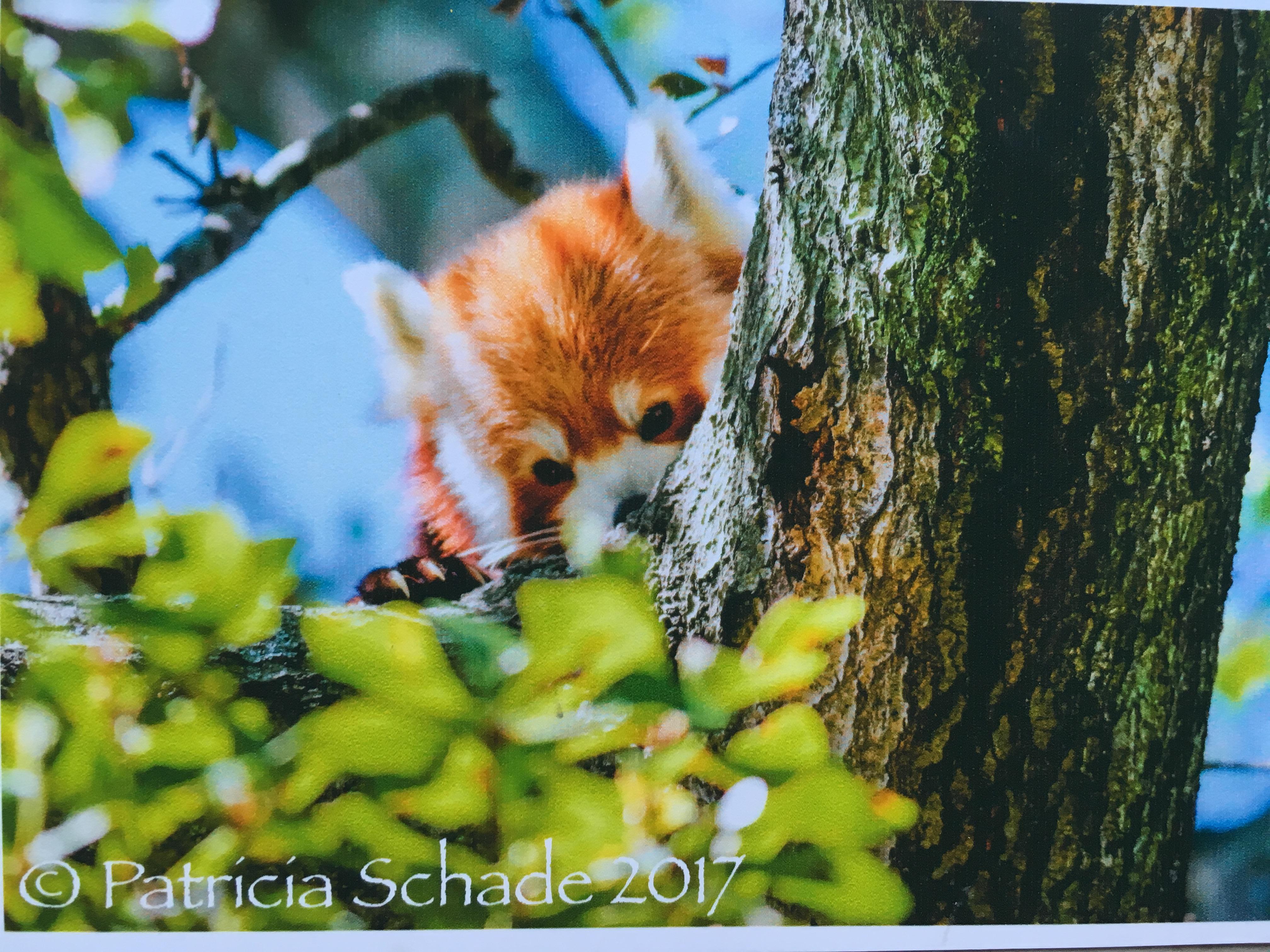 Patricia Shade_red panda